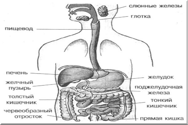 Желудок – мышечный