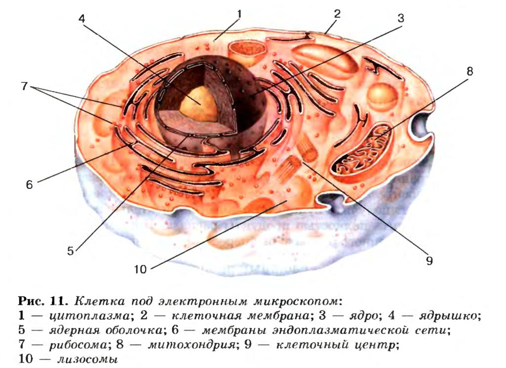 Kletka-organizma