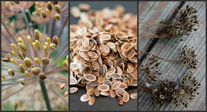 Семена укропа. Народная медицина