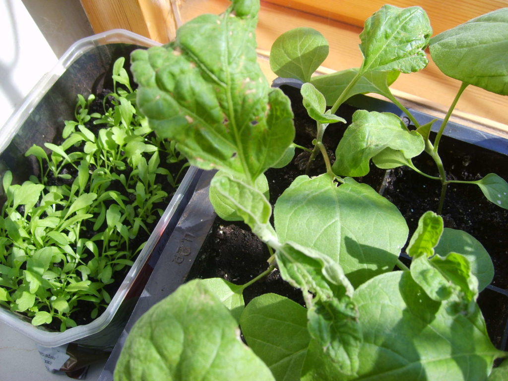 Какие бывают проблемы с рассадой баклажанов и как их избежать
