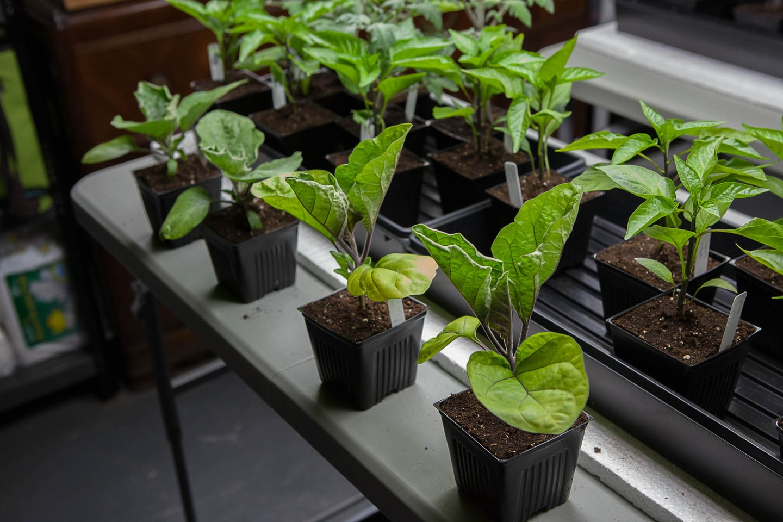 В феврале принято сеять баклажаны на рассаду