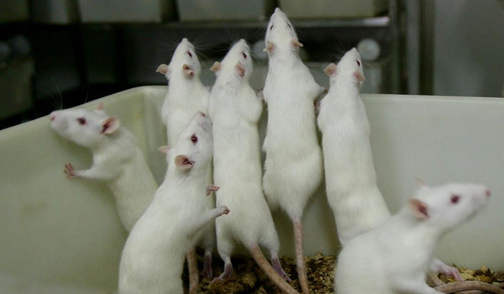 От сухариков у крыс — цирроз печени