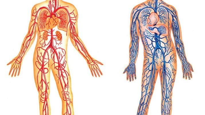 Устройство системы кровообращения человека