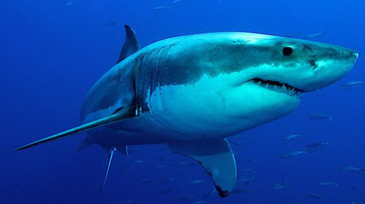 Лечебные свойства акульего жира