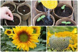 Выбираем семена подсолнечника на посадку правильно